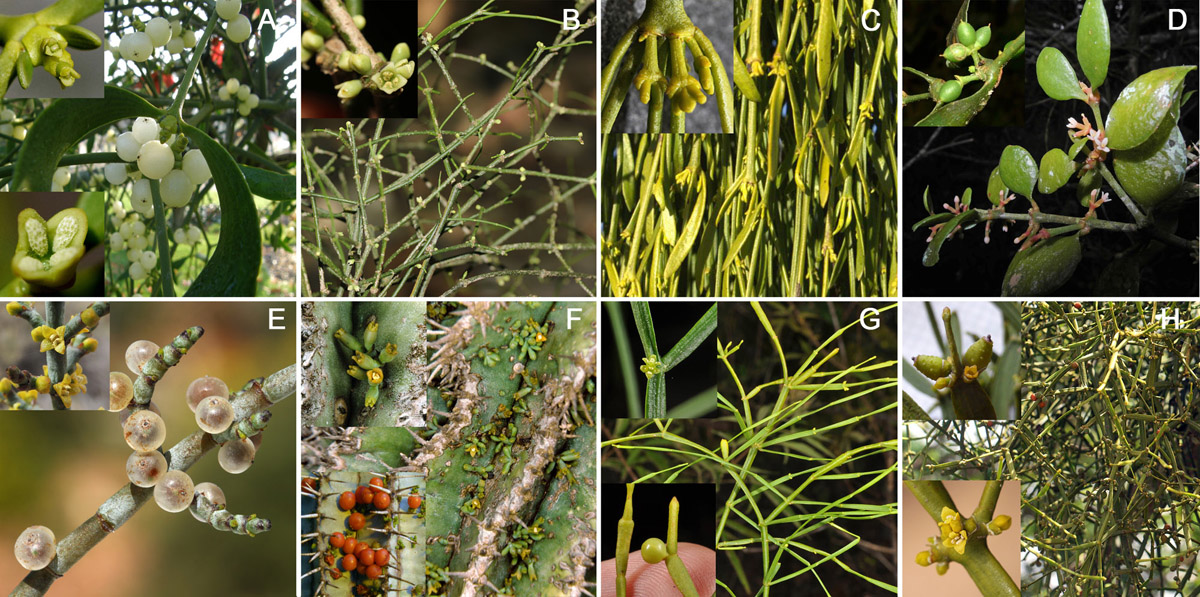Morphology, geographic distribution, and host preferences are poor predictors of phylogenetic relatedness in the mistletoe genus Viscum L.